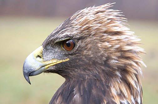 golden-eagle-portrait
