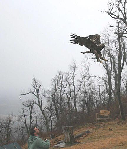 golden eagle release