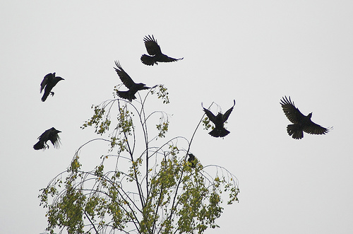 Crows acting up, by Greg7