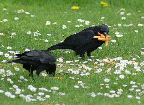 Large-mouth crows
