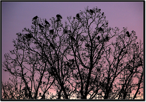 crow roost
