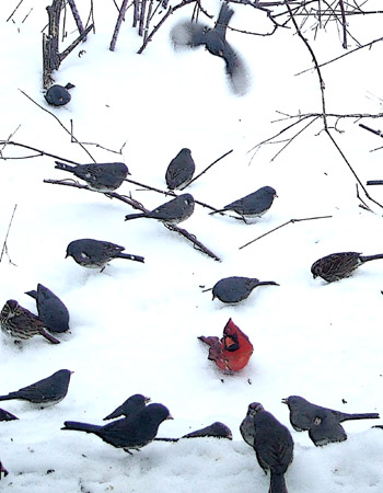 Feeder birds in snowstorm