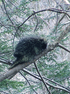 Porcupine on hemlock