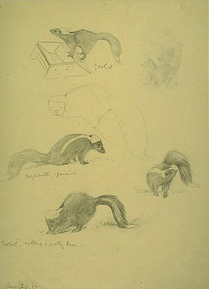 Fuertes sketches of striped skunks