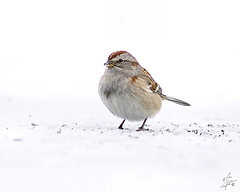 American Tree Sparrow, by ericbegin2000 on Flickr