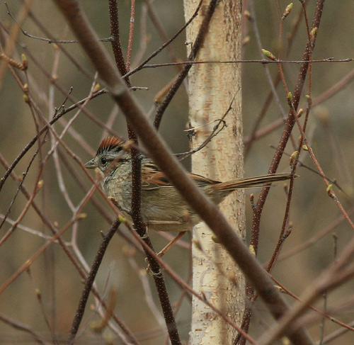 Swamp Sparrow, by Scott A. Young on Flickr
