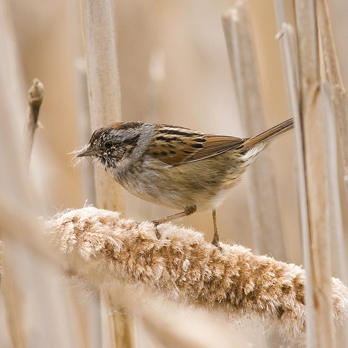 Swamp Sparrow, by Fritz Myer on Flickr