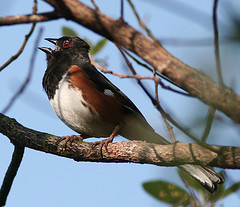 Towhee singer, by Henry McLin on Flickr