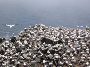 Cape St. Mary's Gannet Colony