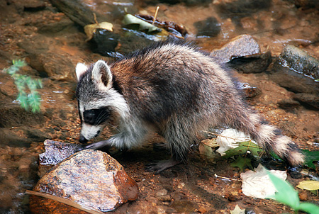 raccoon on Rock-Flipping Day, by Fred First