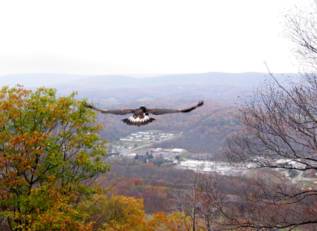 golden eagle seconds after release, with the Allegheny Front in the distance