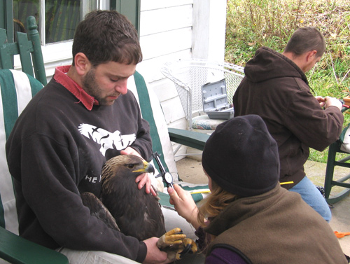 Todd Katzner and Trish Miller measure the eagle's beak, while Mike Lanzone works on the transmitter