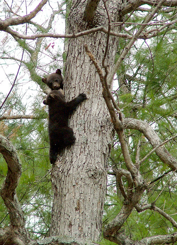 Bear cubs on a tree near Asheville, NC (photo by ashe-villain)