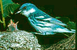 Cerulean warbler at nest, from US Forest Service (public domain)