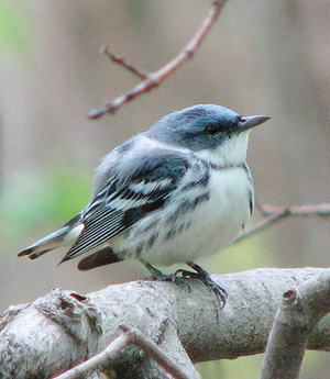 Cerulean Warbler in Silver Maple swamp (by Petroglyph, on Flickr)