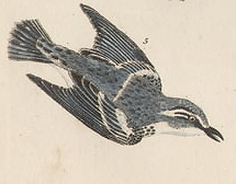 Alexander Wilson's cerulean warbler (public domain)