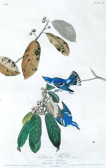 John James Audubon's Cerulean Warbler plate (public domain)