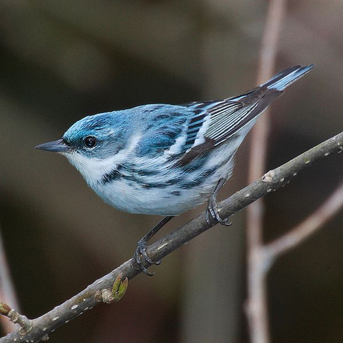Cerulean Warbler in Rondeau Provincial Park, Ontario, Canada (photo by Mdf, Wikimedia Commons - GNU Free Documentation license)