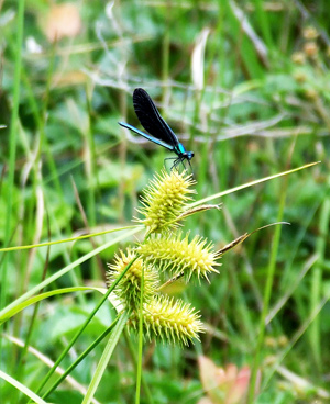 ebony jewelwing damselfly at the Beaver Dam