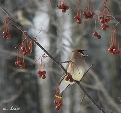 Cedar Waxwing in an ornamental cherry tree (photo by m. heart, Creative Commons Attribution-Noncommercial license)