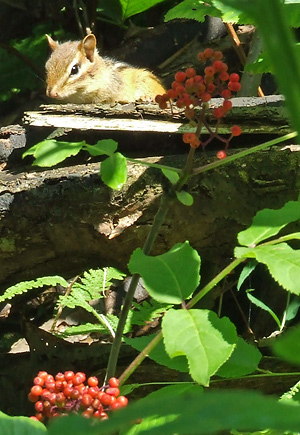 chipmunk with red elderberries