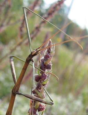 walking stick close-up, by poppy2323 on Flickr (Creative Commons BY-NC license)
