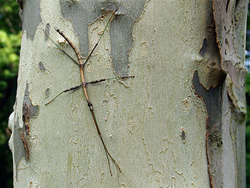 walkingstick on sycamore at French Creek State Park, PA, by Colin Purrington on Flickr (Creative Commons BY-NC-SA license)