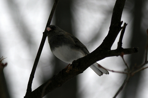 Dark-eyed Junco by Birdfreak.com, Rockford, Illinois (Creative Commons BY-SA license)
