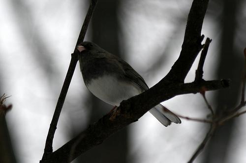 Dark-eyed Junco by Birdfreak.com, Rockford, Illinois (Creative Commons BY-SA license)