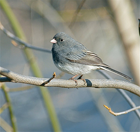 Dark-eyed junco by Tom Davis in Wilmington, Delaware (Creative Commons BY-NC-SA)