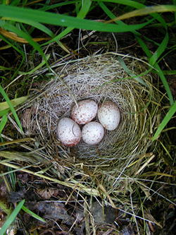 Junco nest in Vermont, by Kent McFarland (Creative Commons BY-NC license)