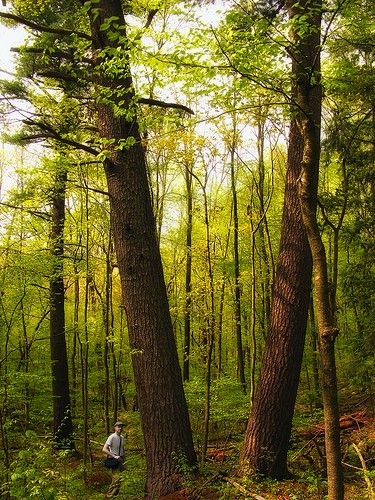 old-growth white pine in Pennsylvania's Delaware State Forest