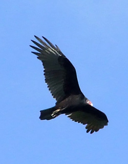 turkey vulture above First Field