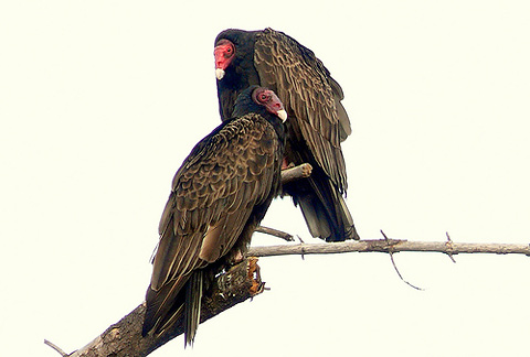 Turkey vultures heating up in the early morning sun by Linda Tanner