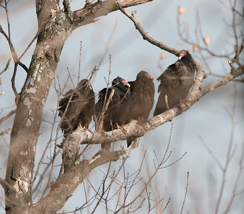 turkey vultures at Gettysburg by Henry McLin