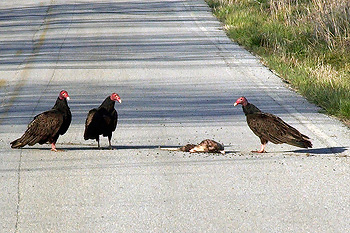 Turkey vultures with a roadkilled opossum