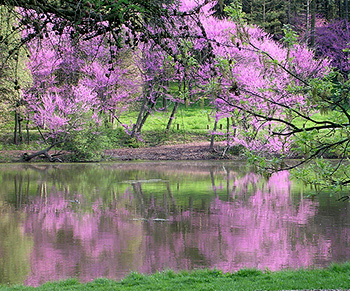 Eastern redbud by Jason Sturner