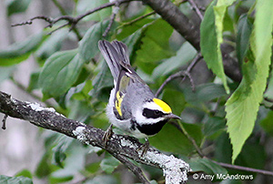 Golden-winged Warbler by Amy McAndrews