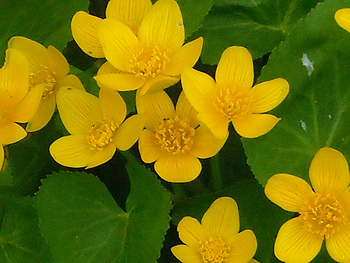 Marsh marigolds by anslatadams