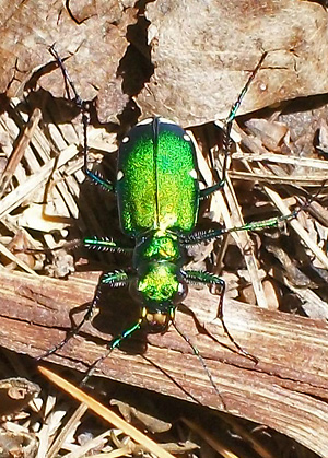 Six-spotted tiger beetle at Hills Creek State Park by Eva Bonta