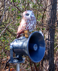 Decoy for attracting saw-whet owls at night