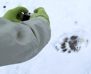 black bear track in snow