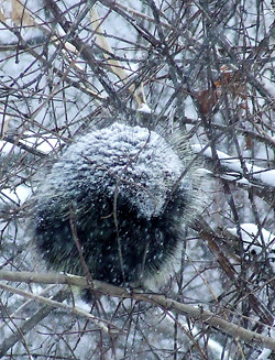 porcupine in a snowstorm
