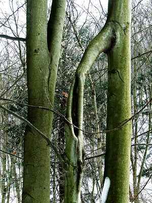 beech with a flying buttress