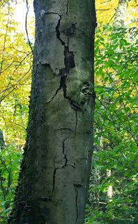 Dead beech in the Adirondacks