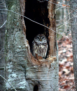 Barred owl in a beech tree by Michael Hodge