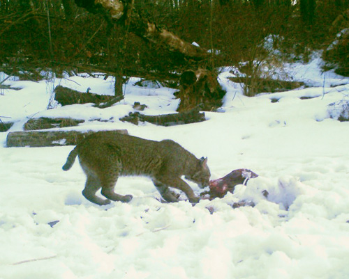 trail cam bobcat