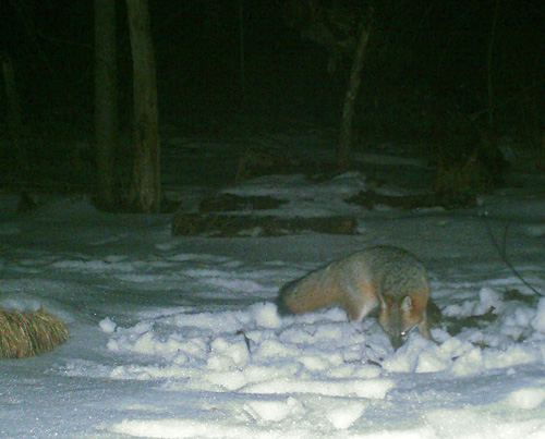 trail cam gray fox