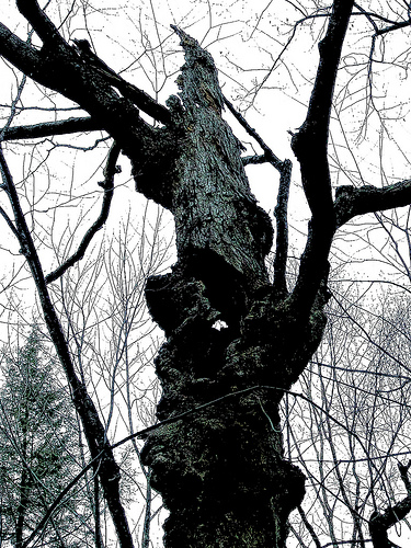 Gnarled husk of a dying maple