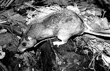 The Allegheny woodrat returns to his home after release